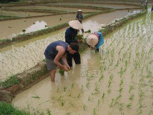 Planting in the rice field