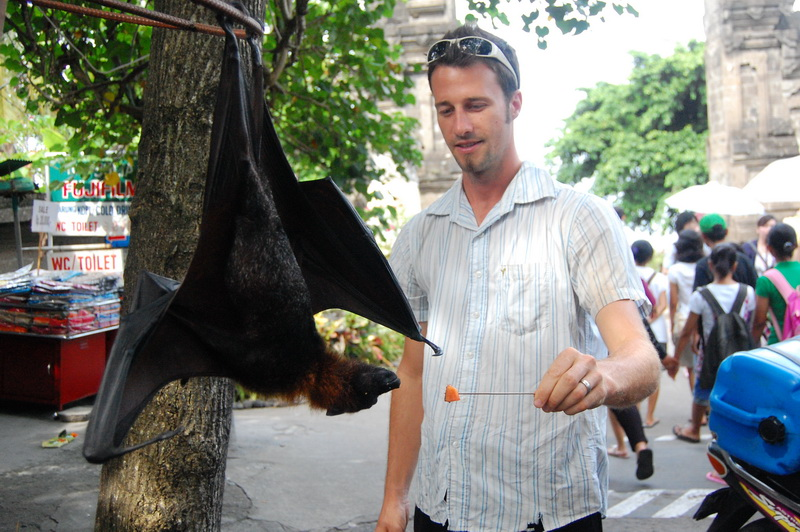 Papaya for the giant fruit bat