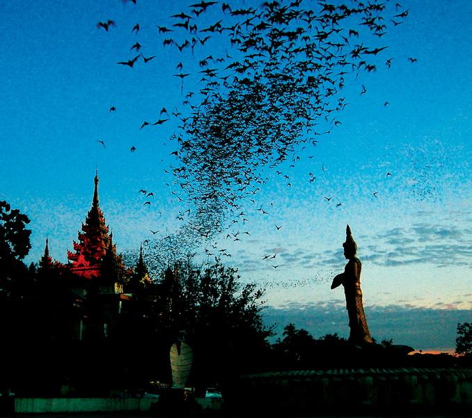 Bats emerging near Shwedagon Pagoda